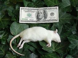 Frozen Feeder Rats: 10 Mediums -FREE S&H -MiceDirect !!! Rod