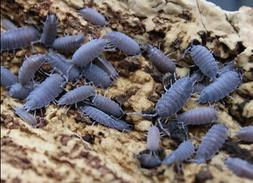 10+ Powder Blue Isopods Bioactive Reptile Clean Up Crew and