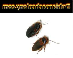 20 pregnant females and 10 male Adult dubia roaches FREE SHI