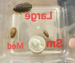 Dubia Roaches - Small, Medium & Large Feeders. All sizes in