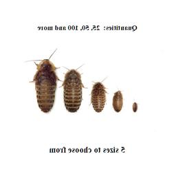 dubia roaches small medium large xl live