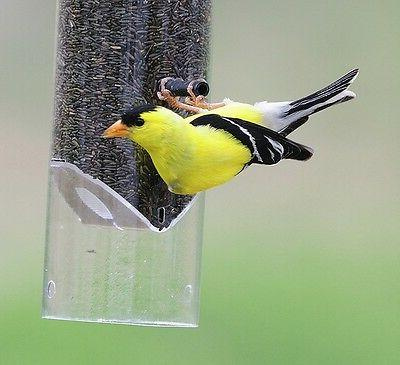 3 lbs gold finch and song bird