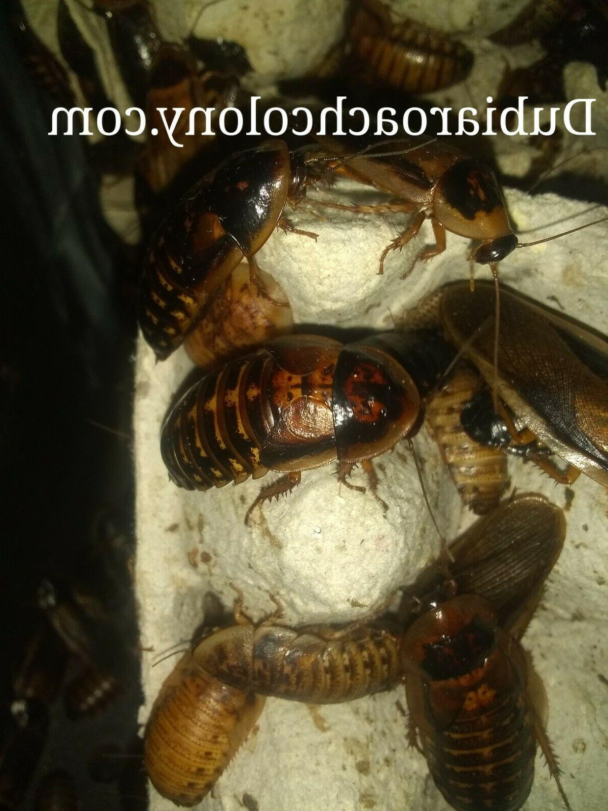 50ct & XL Dubia FAST bugs