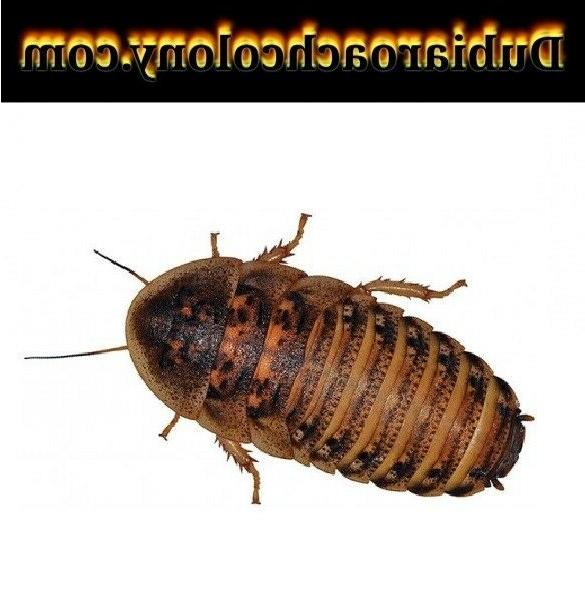 50ct large and xl dubia roaches feeders