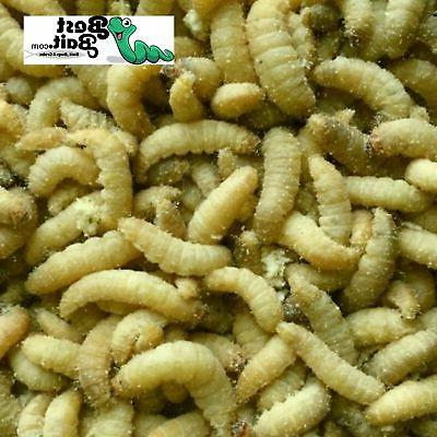 bestbait waxworms wax worms fishing reptile feeders