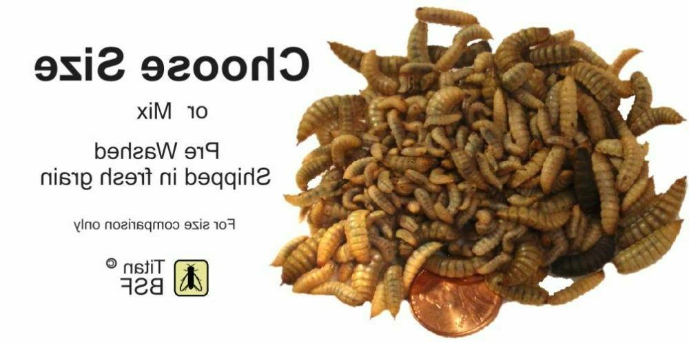 LIVE Black Soldier Fly Larvae Reptile feeders grain fed indo