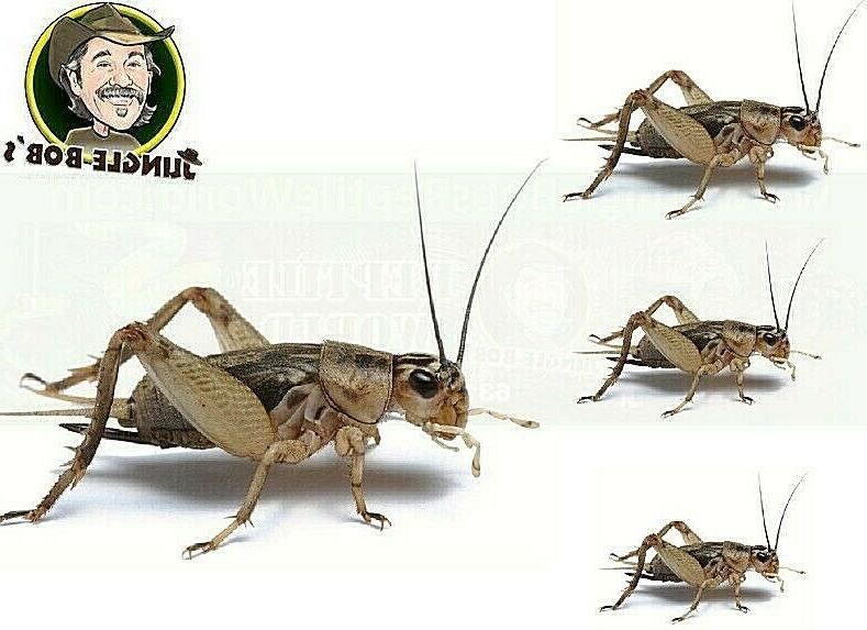 pet lizard live cricket feeders alive insect