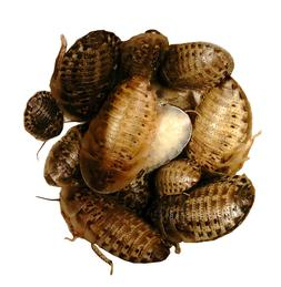 LIVE BREEDER/FEEDER MALE DUBIA ROACHES size LARGE 10 count